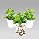 Coleus canin – Verpiss-Dich Pflanze – 3 Pflanzen